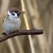 ringmus-eurasian-tree-sparrow-10