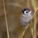 ringmus-eurasian-tree-sparrow-11
