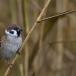ringmus-eurasian-tree-sparrow-12