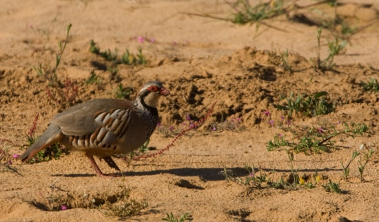 rode-patrijs-red-legged-partridge-01