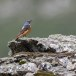 Rode-rotslijster-Rock-thrush-01