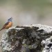 Rode-rotslijster-Rock-thrush-03