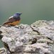 Rode-rotslijster-Rock-thrush-05