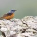 Rode-rotslijster-Rock-thrush-06