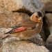 rode-woestijnvink-crimson-winged-finch-01