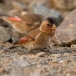 rode-woestijnvink-crimson-winged-finch-05