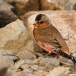 rode-woestijnvink-crimson-winged-finch-07