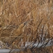 roerdomp-eurasian-bittern-19