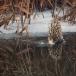 roerdomp-eurasian-bittern-25