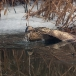 roerdomp-eurasian-bittern-26