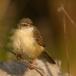 roestflankprinia-tawny-flanked-prinia-01