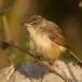 roestflankprinia-tawny-flanked-prinia-02