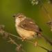 roestflankprinia-tawny-flanked-prinia-03