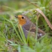 roodborst-european-robin-05