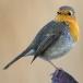 roodborst-european-robin-07
