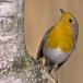 roodborst-european-robin-08
