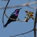 roodbuikhoningzuiger-splendid-sunbird-01