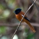 hybride-roodbuikparadijsmonarch-hybrid-red-bellied-paradise-flycatcher-01