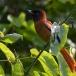 roodbuikparadijsmonarch-red-bellied-paradise-flycatcher-01