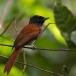 roodbuikparadijsmonarch-red-bellied-paradise-flycatcher-02