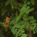 roodbuikparadijsmonarch-red-bellied-paradise-flycatcher-03