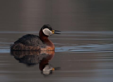 roodhalsfuut-red-necked-grebe-04