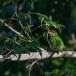 Roodkeelbaardvogel-Crimson-fronted-barbet-01