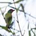 Roodkeelbaardvogel-Crimson-fronted-barbet-02