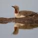 roodkeelduiker-red-throated-diver-02
