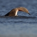 roodkeelduiker-red-throated-diver-07