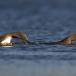 roodkeelduiker-red-throated-diver-08