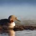roodkeelduiker-red-throated-diver-09