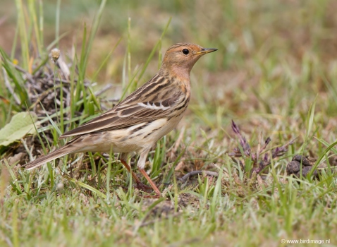 Roodkeelpieper - Red-throated Pipit 01