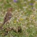 Roodkeelpieper - Red-throated Pipit 02