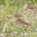 Roodkeelpieper - Red-throated Pipit 03