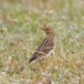 Roodkeelpieper - Red-throated Pipit 04