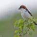 Roodkopklauwier - Woodchat Shrike 01