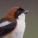Roodkopklauwier - Woodchat Shrike 02