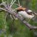 Roodkopklauwier - Woodchat Shrike 03