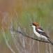 Roodkopklauwier - Woodchat Shrike 05