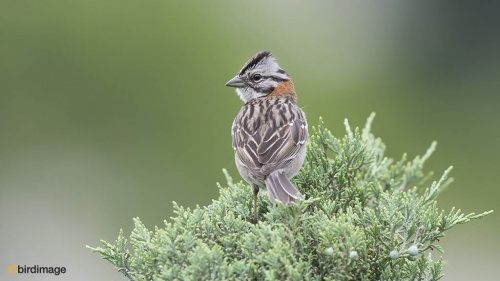 Roodkraaggors_Rufous-collared Sparrow 01