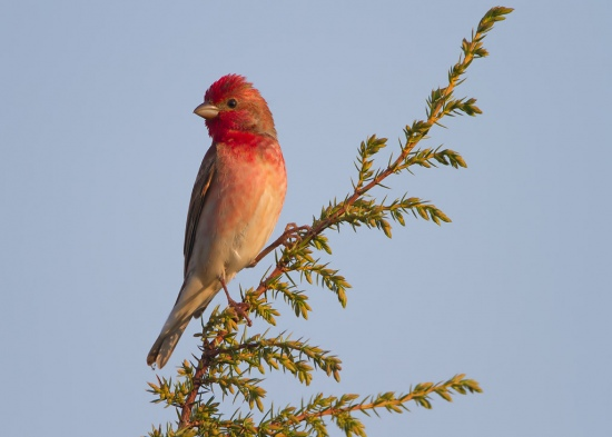 roodmus-common-rosefinch-03