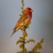 roodmus-common-rosefinch-01