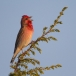 roodmus-common-rosefinch-04