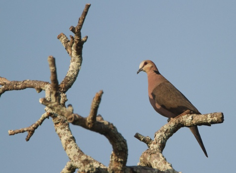 roodoogtortel-red-eyed-dove-01