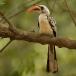 roodsnaveltok-red-billed-hornbill-03