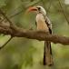 roodsnaveltok-red-billed-hornbill-04
