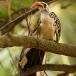 roodsnaveltok-red-billed-hornbill-05