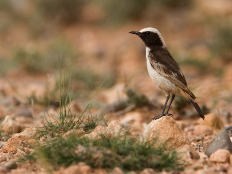 roodstuittapuit-red-rumped-wheatear-05