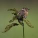 roodborstapuit-european-stonechat-07